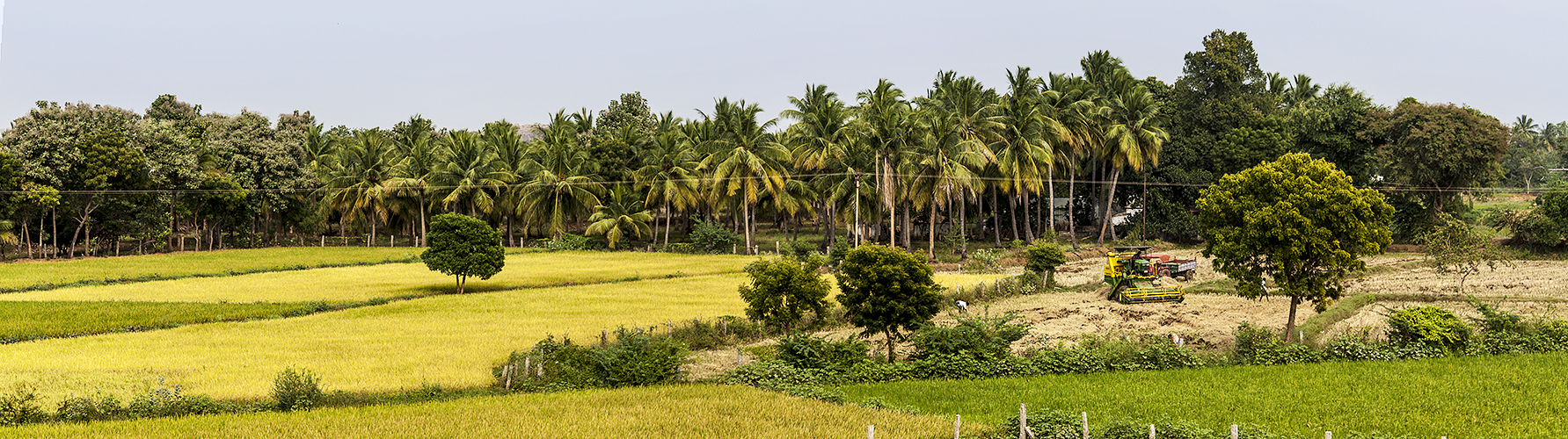 Harvesting and Ripening Fields-Madurai
