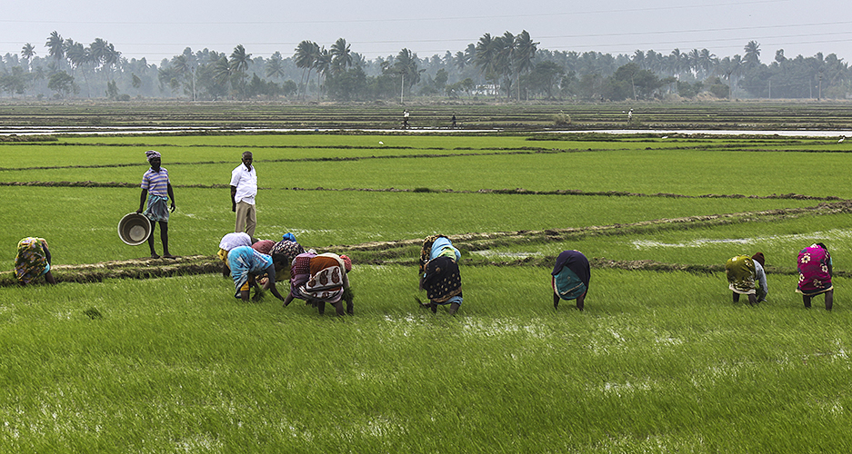 Weeding the Fields 4-Kumbakkonam