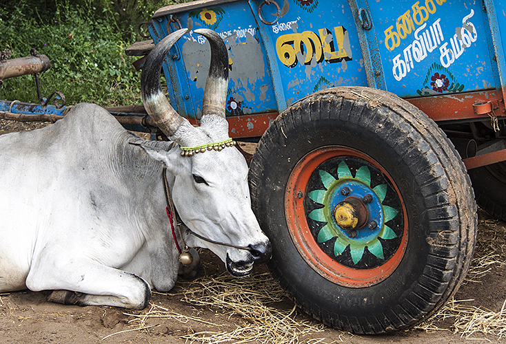 Kumbakkonam :: White Bull - Blue Cart