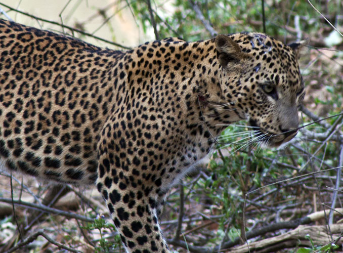 Female Leopard 3