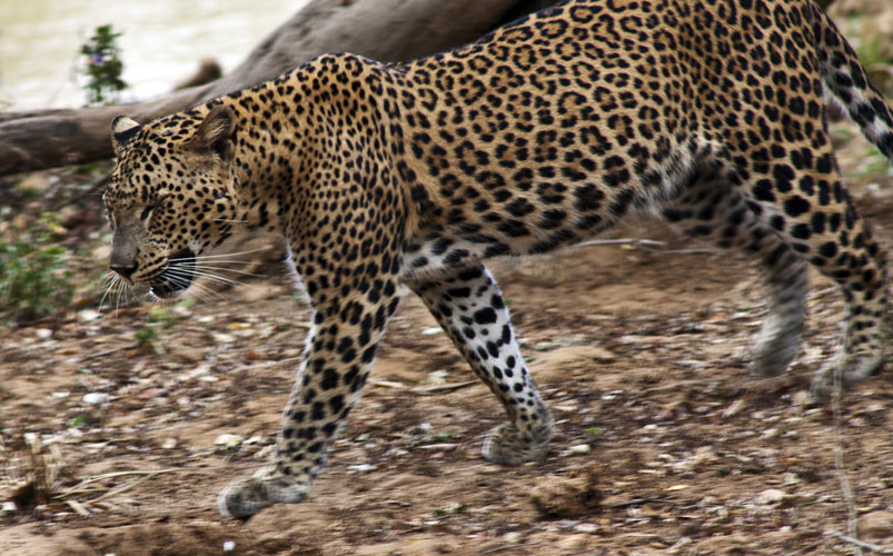 Female Leopard 1