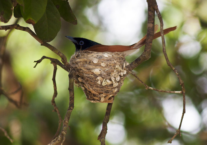 From Yala Wilderness, Sri Lanka - Paradise Flycatcher