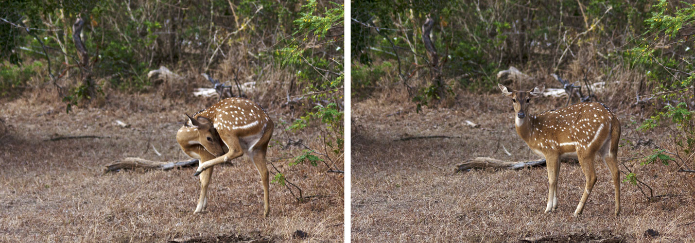 Spotted Deer-Fawn Sequence