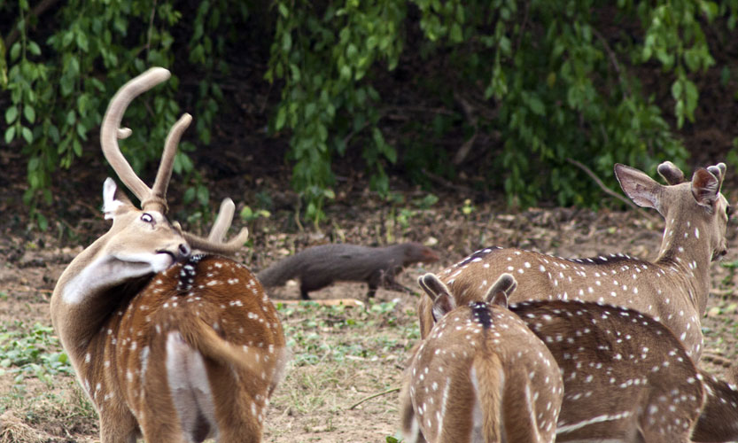 Spotted Deer with Mongoose